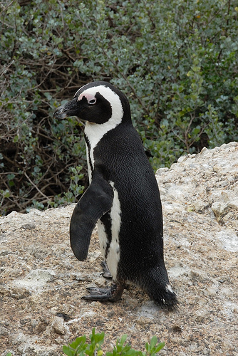 Penguin from South Africa